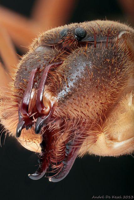 Camel spider (Solifugidae) | Flickr - Photo Sharing!