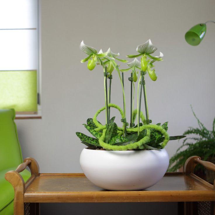 Green Paphiopedilum #orchid