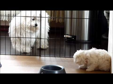 Bolognese puppies *of the Cute White Stars* 6,5 weeks old - YouTube