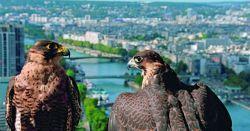 La plus belle ville du monde - La vie sauvage à Paris - couple de faucons pélerin (from www.paris.fr).jpg