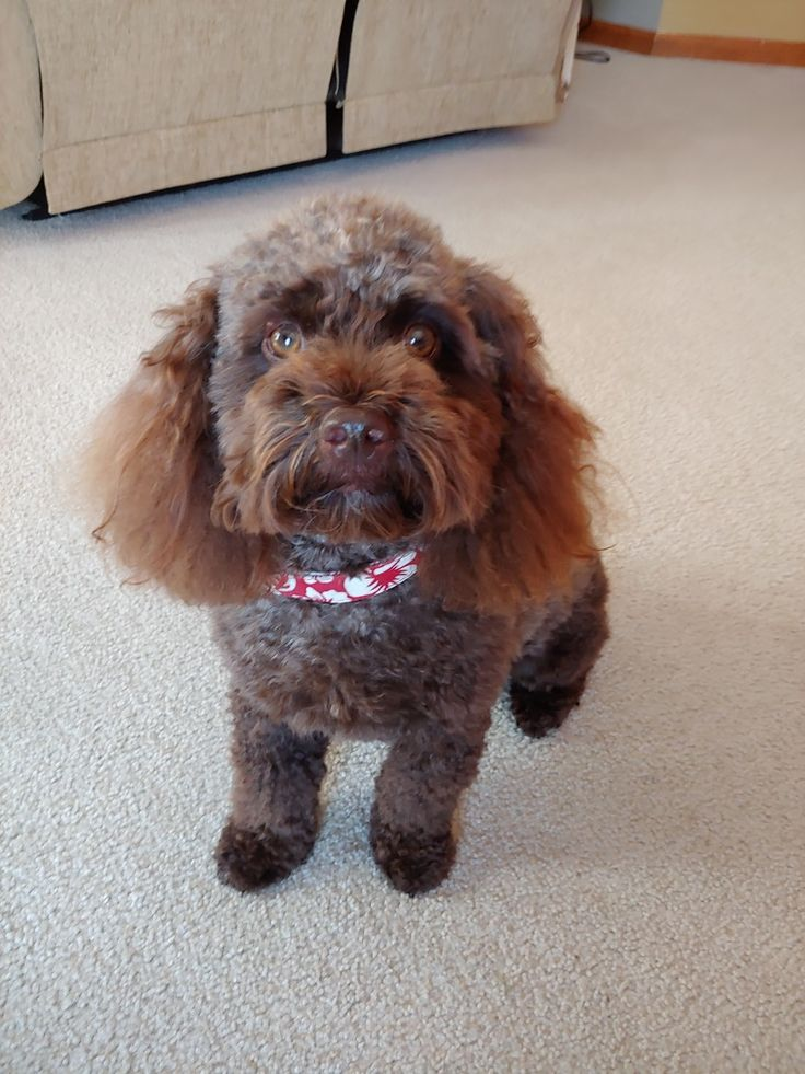 Cockapoo groom and haircut Cockapoo, Puppies, Dogs