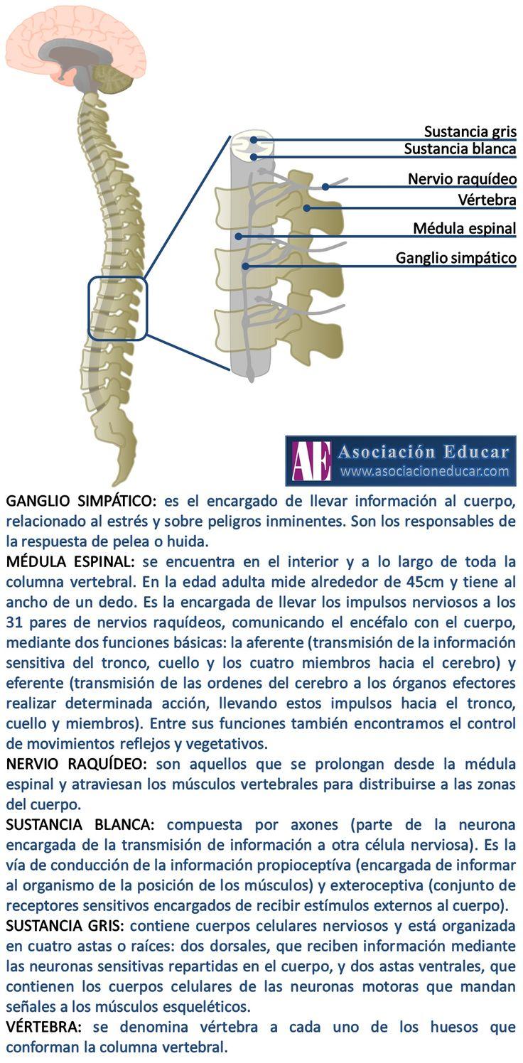 Infografía Neurociencias: Médula espinal. | Asociación Educar                                                                                                                                                                                 Más