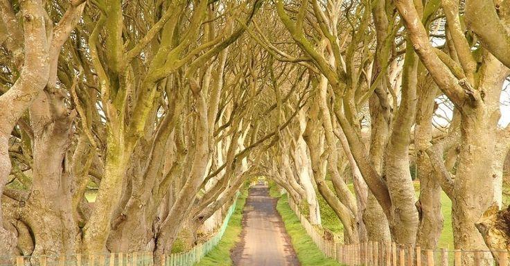 """Conhecido como Dark Hedges, este local fica na Irlanda do Norte e j� serviu de cen�rio para a s�rie """"Game of Thrones"""".  Trata-se de um via cercada por �rvores retorcidas e que leva � mans�o de uma antiga fam�lia abastada da regi�o. As �rvores foram plantadas no s�culo 18 para impressionar os visitantes que chegavam � mans�o e, hoje, formam um lindo t�nel sobre a estradinha. A atra��o se localiza perto da cidade de Armoy"""