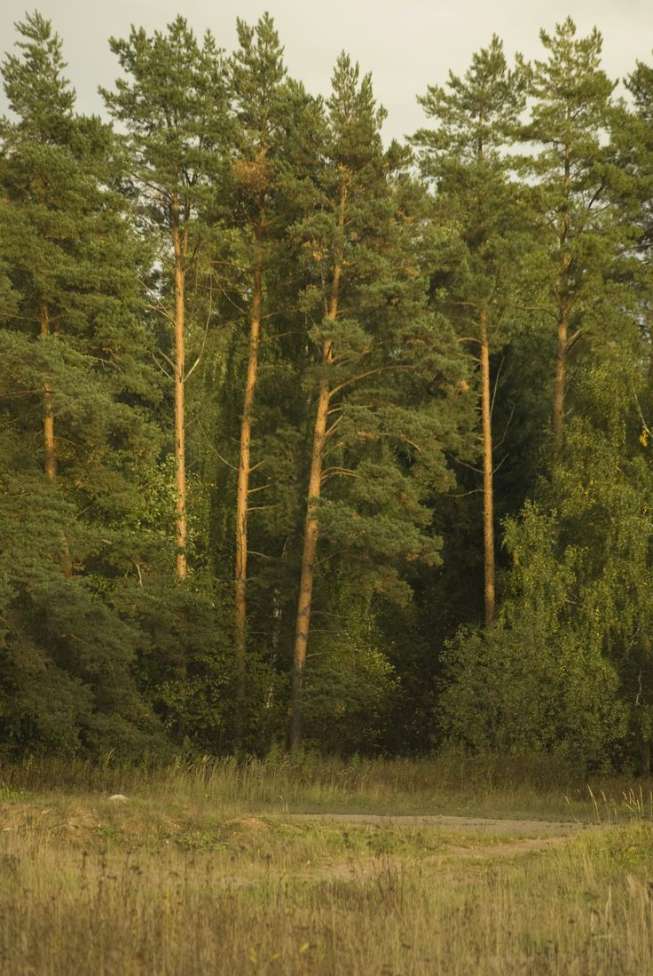 Сосновый лес под БоОрисоглебом, Ярославская область России