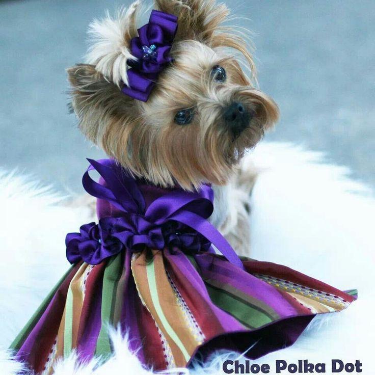 Chloe (dress by Linda Higgins) Yorkshire Terrier Dog Breed Photography Puppy Hounds Chien Puppies Pup Yorkie #yorkshireterrierpuppy