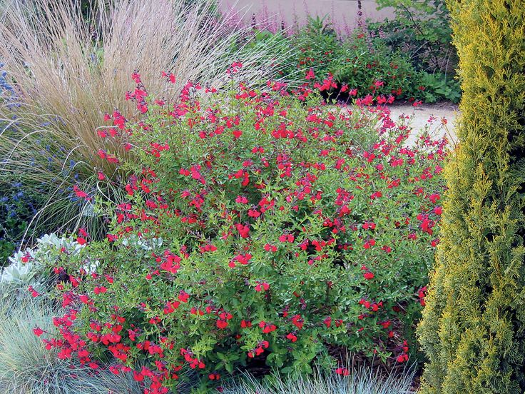 Landscape Bushes With Odor : Best images about lipstick bushes on h