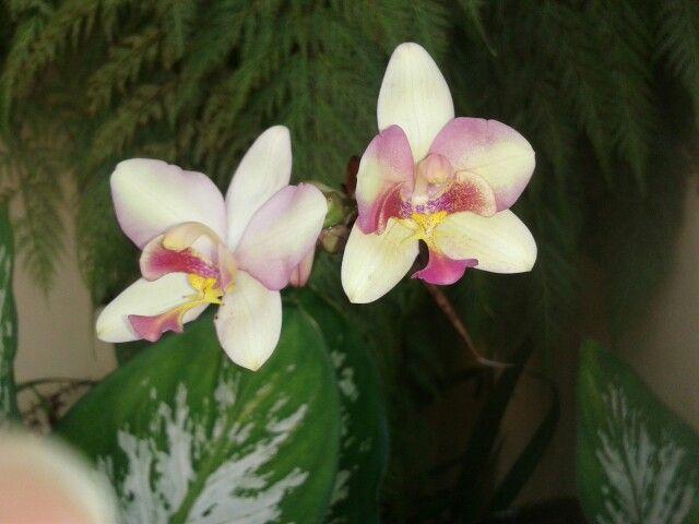Preciosas orquídeas beige con vino tinto