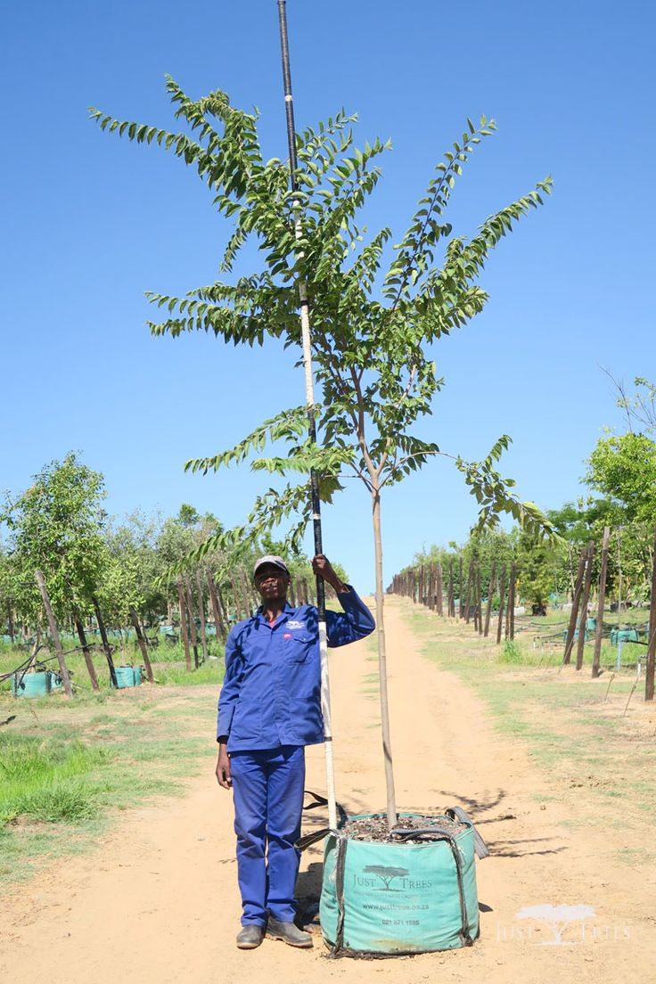 200L Celtis africana (White Stinkwood). This indigenous tree is a beautiful addition to any landscape with its smooth pale bark that contrasts with light green leaves, which turn darker as they mature. Fast and easy to grow, the Celtis africana is particularly good as a shade tree.