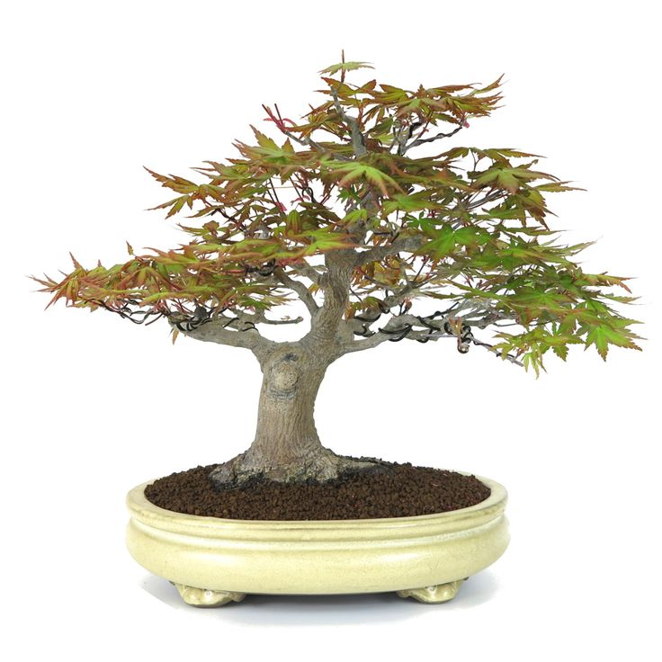 400 best images about bonsai on pinterest trees prunus for Most expensive bonsai tree ever