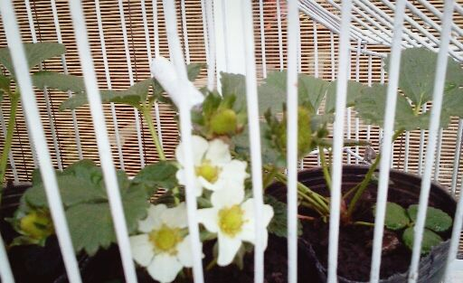 Oltre 25 fantastiche idee su planta de frutilla su - Como arreglar un jardin pequeno ...
