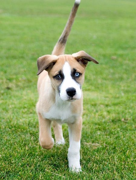 Dexter the Mixed Breed -- Puppy Breed: Boxer / Siberian Husky