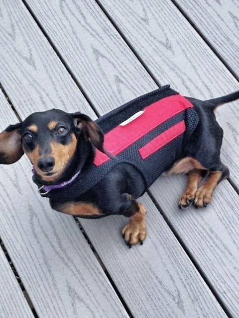 Jasmine loves her WiggleLess Dog Back Brace! It's giving her the back support she deserves!