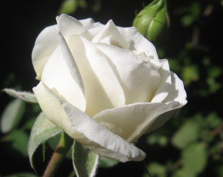 rosas preciosas imagenes - Buscar con Google
