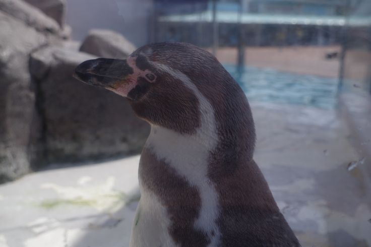魚津水族館のペンギン