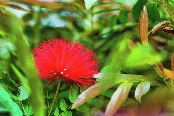 Calliandra Mixed Media - Red Calliandra by Mariia Kalinichenko #MariiaKalinichenkoFineArtPhotography #RedFlower #Nature #FineArtPrint #FineArtPhotography