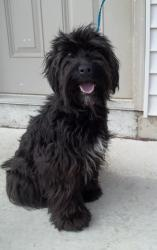 Here is a Tibetan Terrier Dog . Just like Beeko in black.