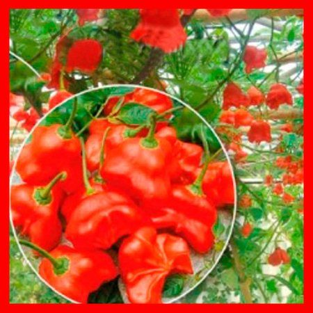 Выращивание перца - как получить хороший урожай в открытом грунте или теплице? Чем подкормить, как формировать стебель, секреты и отзывы опытных дачников