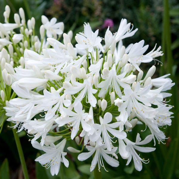 Agapanthus Bridal Bouquet 3l Pot In 2020 Agapanthus White Agapanthus Plants