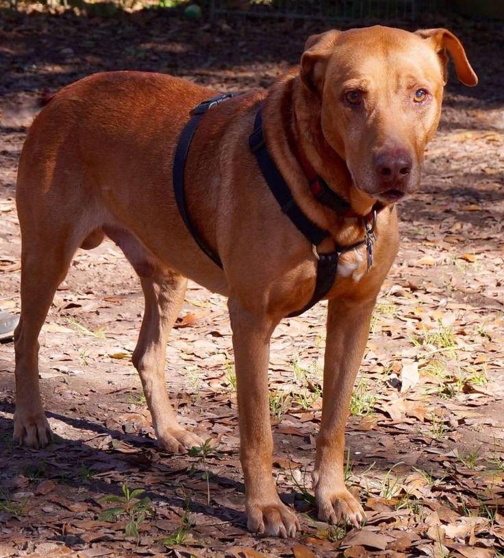 ***SENIOR ALERT! 10/7/16 Meet Rufus, an adoptable Senior Labrador Retriever looking for a forever home. Tomball TX