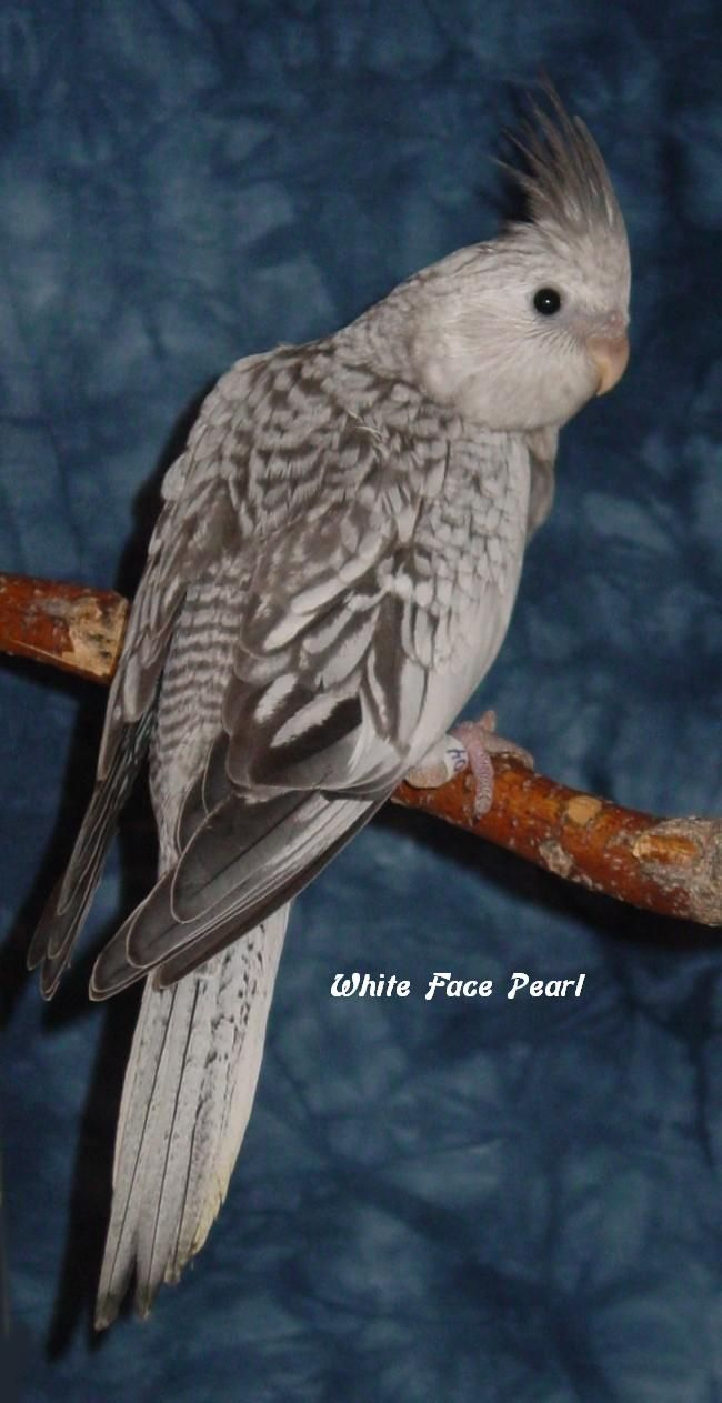 white face pearl cockatiel just like Benny | instinct ...