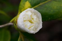 April Snow and Debutant Camellias: fragrant