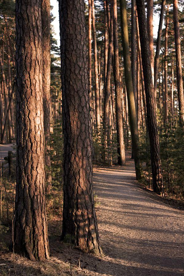 Finnish pine forest