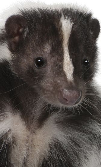 A Striped skunk - Just gorgeous!