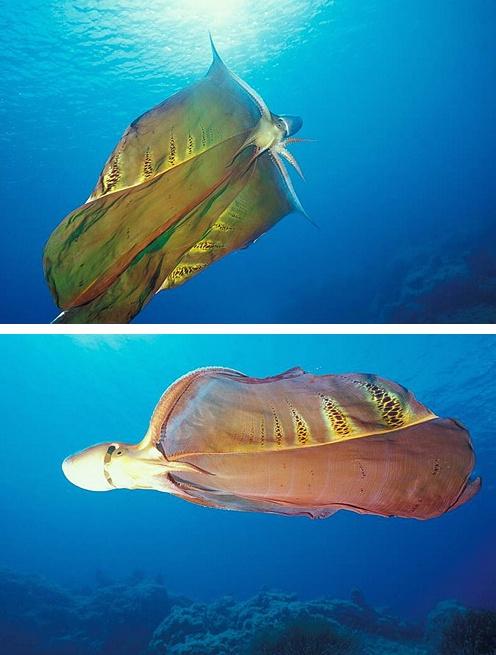 Blanket Octopus Video Clip. #marinebiology