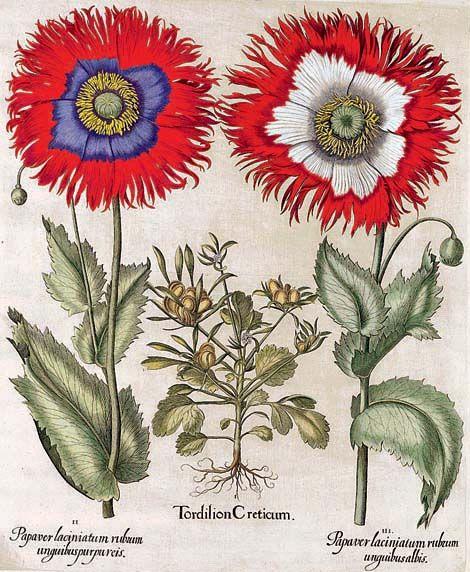 Hortus Eystettensis. Basilius Besler