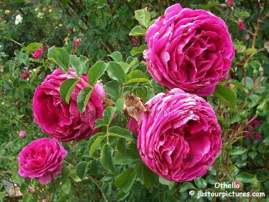 David Austin Roses For Shade Roses Pink Roses Regina S