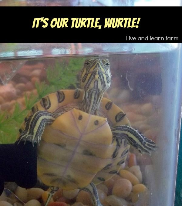 Meet our Turtle Wurtle | Live and Learn Farm