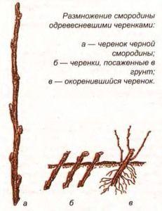 осень Так как же происходит размножение черной смородины черенками