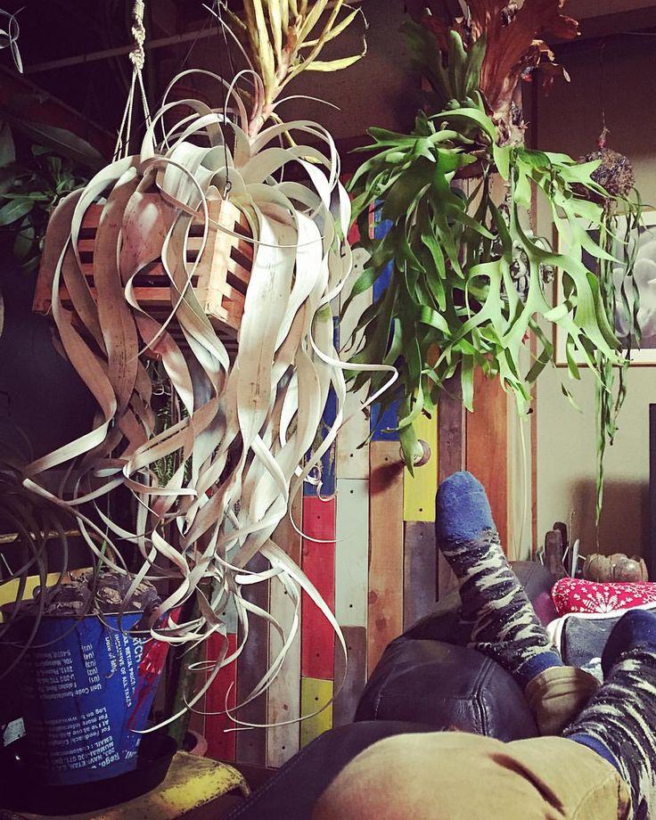  チラとビカク眺めながらゴロゴロ。 いい組み合わせ〜。 * * #ビカクシダ#コウモリラン#platycerium #plants#bsfi_official…