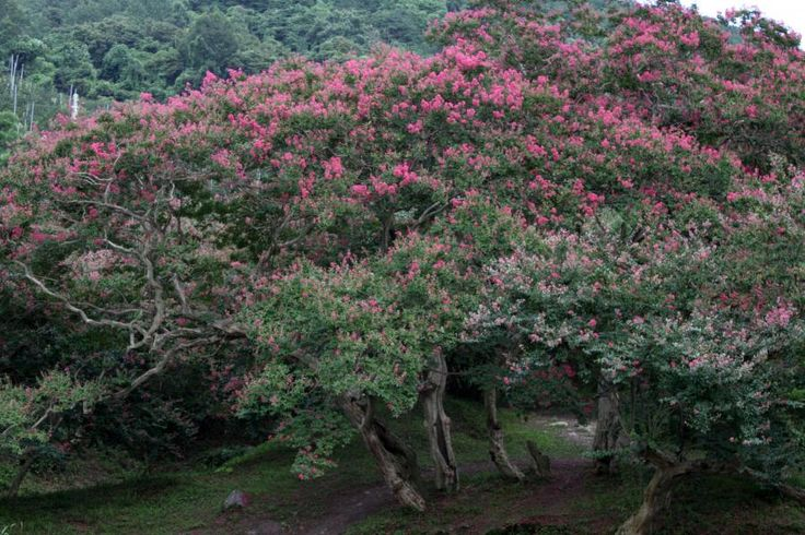 Photos du Lilas des Indes (Lagerstroemia indica) - Jardinage