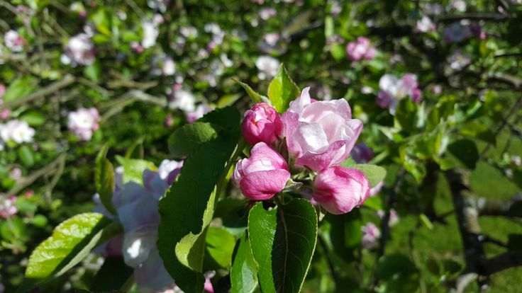 Apple Blossom Goddess in flower. A magnificent essence to rise free of deeply ingrained patterns which deny your goddess presence and expression of the Divine Feminine.