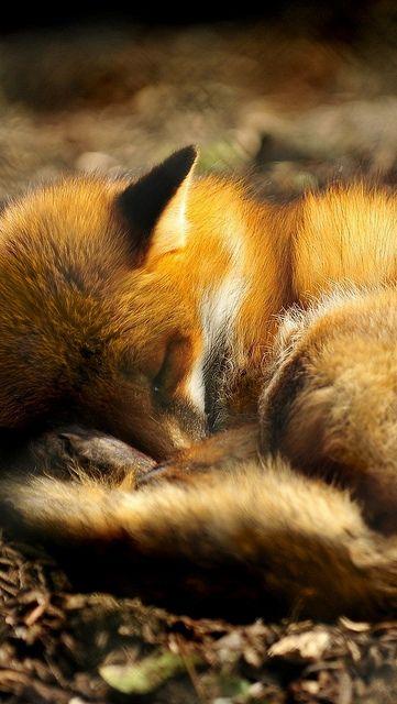 Animals: Red Fox, sleeping