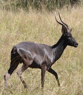 Black Impala Antelope | Cool Critters: Animals | Pinterest ...