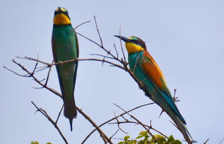 European bee-eaters, Shimba Hills, Kenya. #EuropeanBeeEater #BeeEater #EuropæiskBiæder #ShimbaHills #Kenya #HenryRasmussen