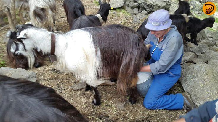 Lezione pratica e visita guidata: mungitura manuale della capra Orobica