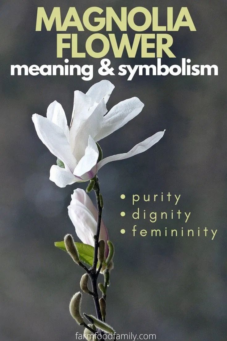 magnolia flower meaning and symbolism in 2020 magnolia on sweet dreams for your home plants decoration precautions and options id=72254