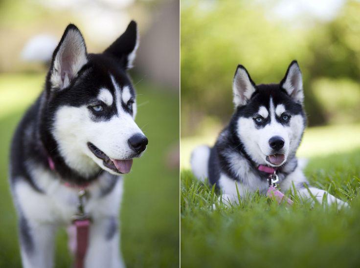 Gorgeous blue-eyed Siberian Husky puppy enjoying the outdoors