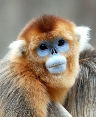 Golden snub nosed monkey via Flickr
