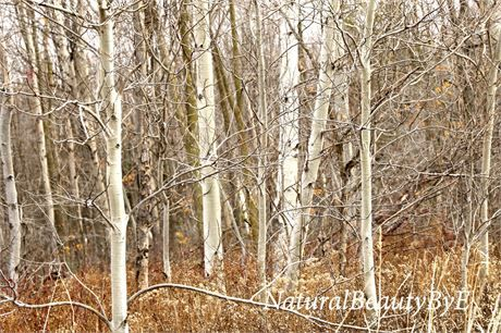 Birch trees at the edge of a forest in Ontario, Canada. The colours are browns, rusts, silver, gold tree trunks with glowing, pale sunlight. Pretty texture on the tree trunks Nature photography that makes a really beautiful print or wall art. This was taken on a day when the weather had been changeable and unpredictable and in a rare moment of peace I came across this wooded area. I love the colour and texture of birch bark and it photographs so well! For sale is the photograph taken by…