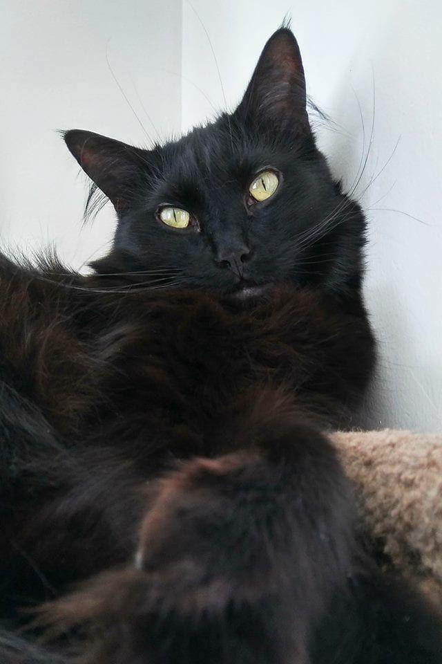 5 Fun Facts About Black Cats Black Cat Breeds Black Cat Appreciation Day Pretty Cats