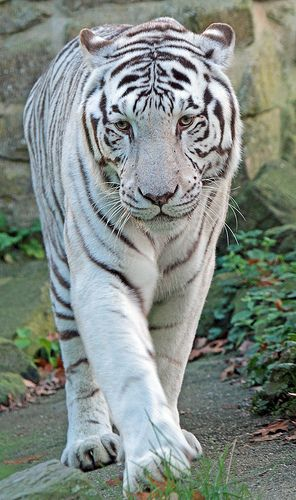 witte tijger Ouwehands IMG_0540