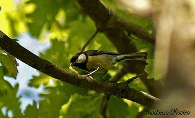 Parque de Avioso: Chapim-real / Great Tit / Parus major