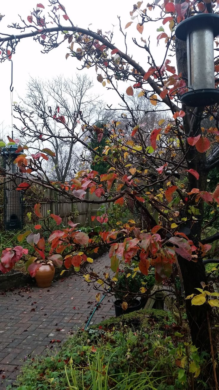 Pyrus 'Chanticleer' still holding its gorgeous atutumn foliage at the end of November