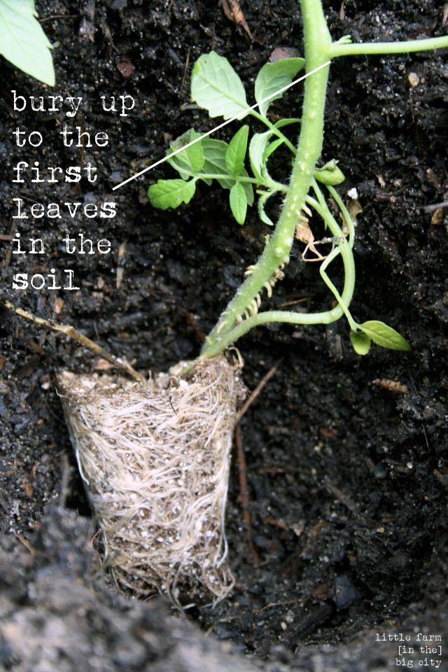 Planting Tomato Plants Gardens Tomato Plants And Garden