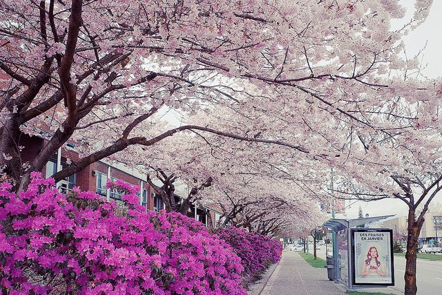 Cherry Blossoms in Vancouver, Canada.