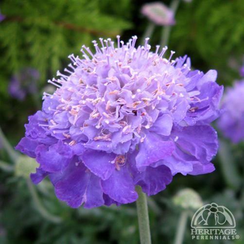 Scabiosa columbaria 'Mariposa Violet'